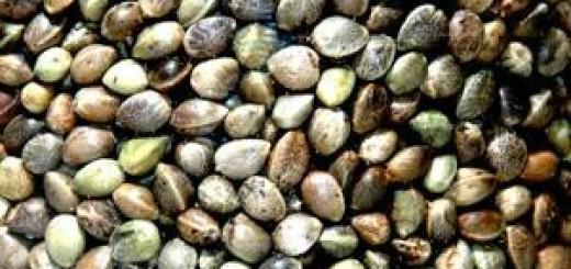konopna seminka